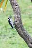 Downy Woodpecker by Hawkeye2011