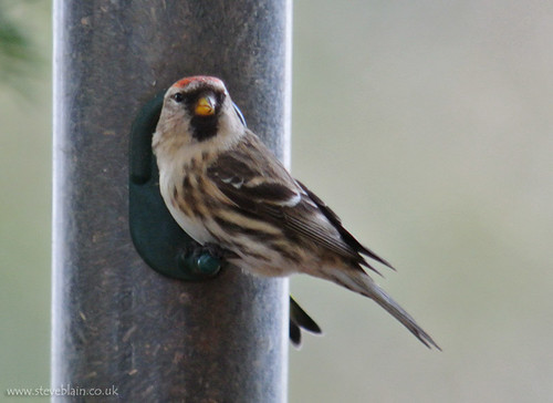 MealyRedpoll_TheLodge_9Feb13_Possiblebird3_a