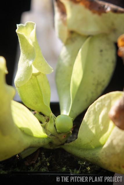 Sarracenia purpurea subsp. venosa var. burkii f. luteola
