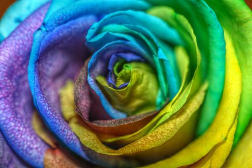 roses colour rose kaleidoscope sainsburys hdr day42 valentinesday singlerose valentinesrose hdrimage colouredrose day42365 3652013 365the2013edition 11feb13