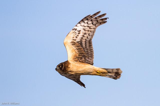 Northern Harrier female | Flickr - Photo Sharing!