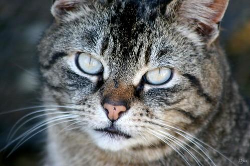Tabby Close-up