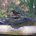 Flickr photo 'Cedar Waxwings (Bombycilla cedrorum)' by: Mary Keim.
