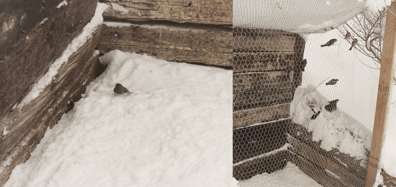 snow-birds-stuck-in-coop