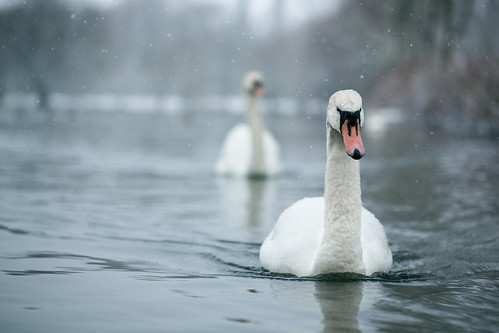 Nimbus Of Winter (Pair Of Swans In Snow), Rickmansworth by flatworldsedge