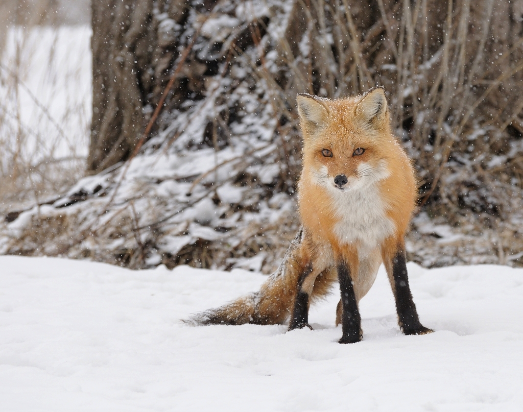 Renard Roux   Red Fox 2-03-13