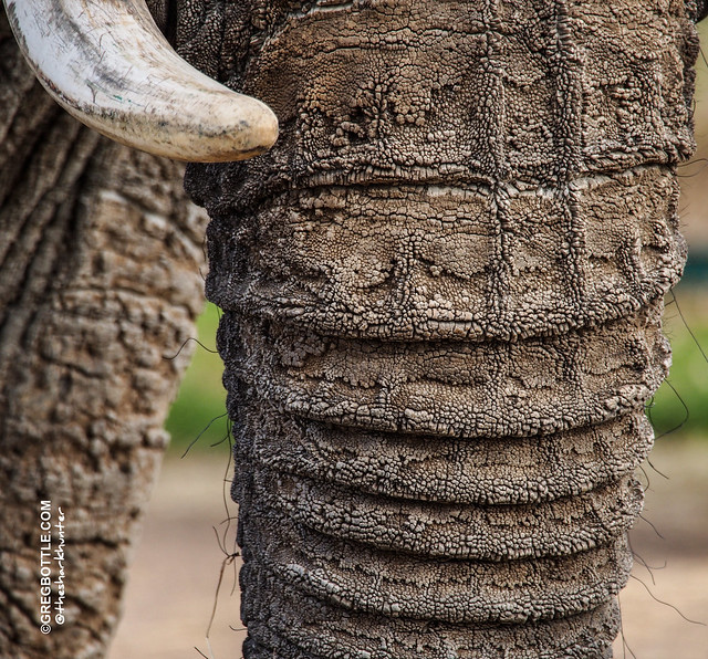 Close up of Elephant trunk