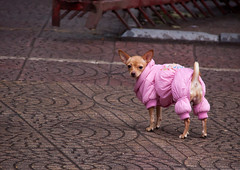 Hilarious Chihuahua in a Pink Coat - Hanoi, Vietnam