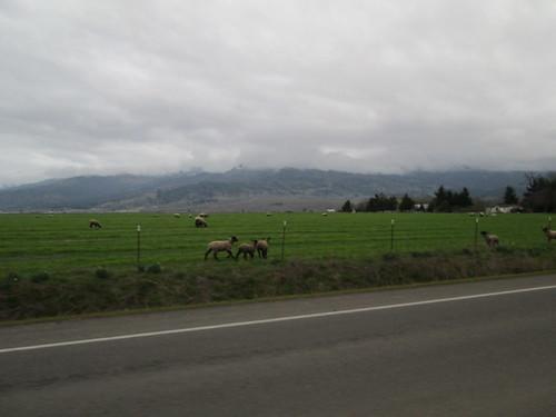 Many, many lambs on Coburg Rd