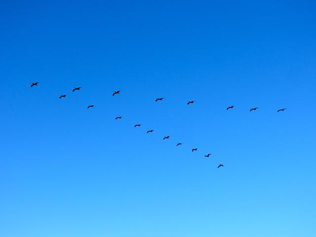 flight of pelicans