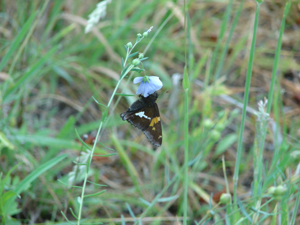 Silver-spotted skipper on lewis flax