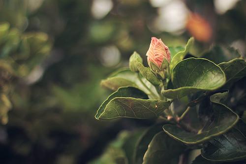 Capullo de Hibisco  - Hibiscus bud by Carola Lagomarsino