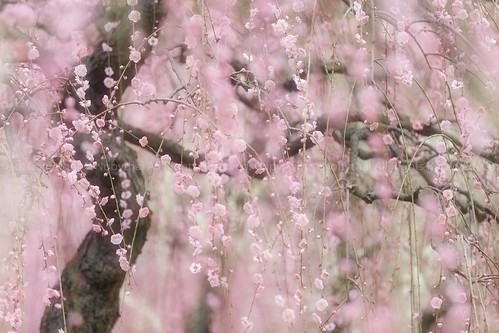 Japanese plum trees in full blossom