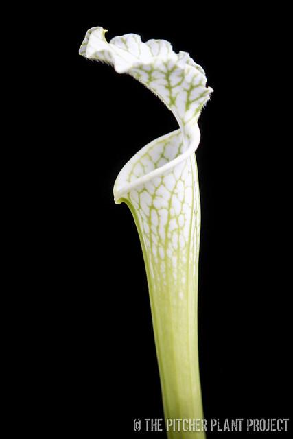 Sarracenia leucophylla, Anthocyanin Free Clone