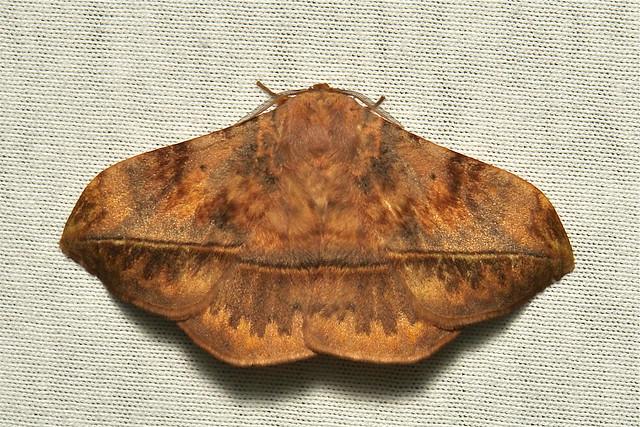 Eupterotid Moth (Apha sp., Eupterotidae)