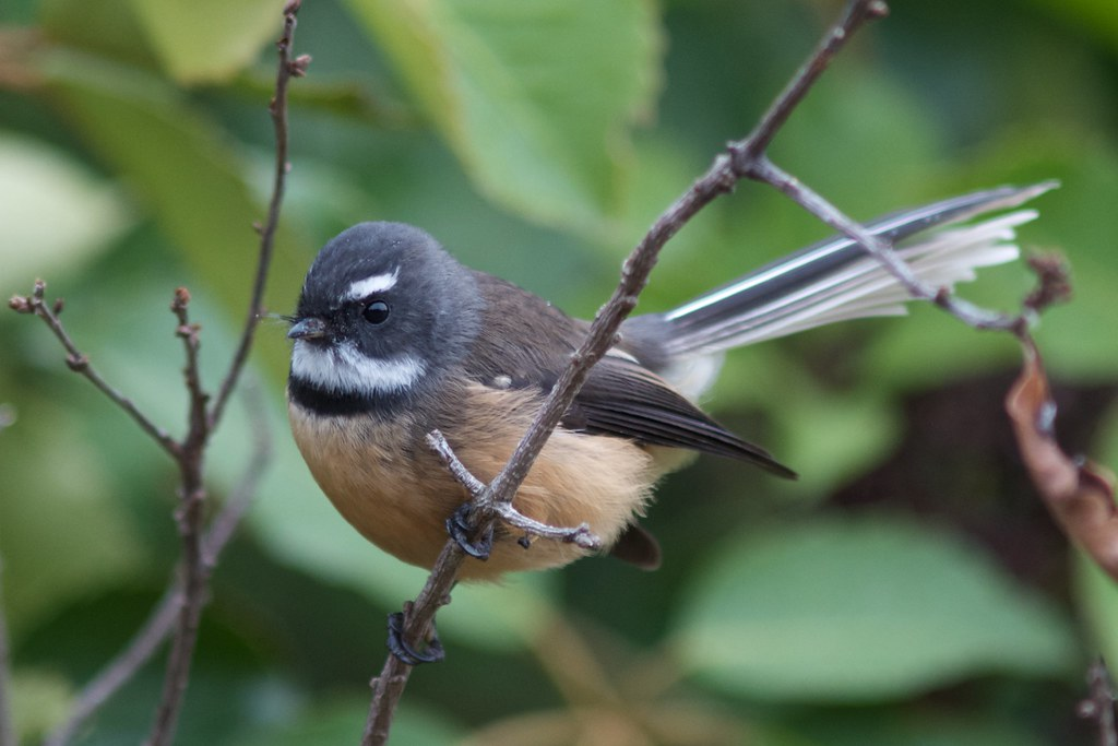 New Zealand Fantail - Photo (c) Jon Sullivan, some rights reserved (CC BY-NC)