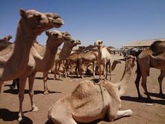 Mercado de camelos em Hargeisa