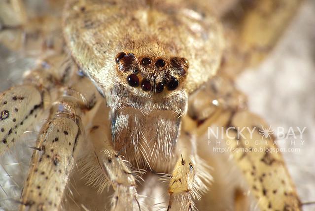 Lichen Huntsman Spider (Pandercetes sp.) - DSC_5402