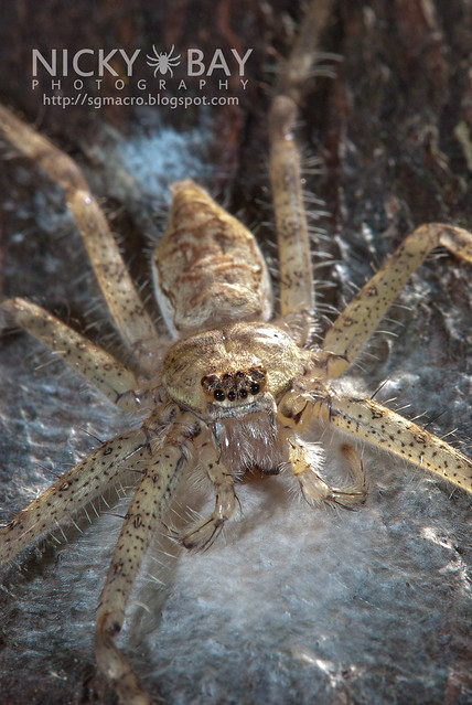 Lichen Huntsman Spider (Pandercetes sp.) - DSC_5388