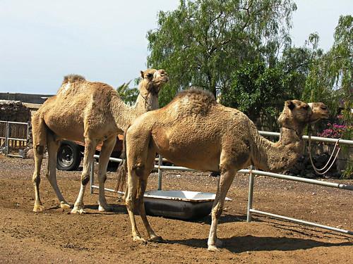 Camel Park, La Camella