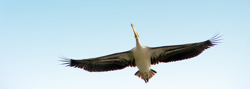 Pelican....fly high...sky is the limit by ShubhenduPhotography