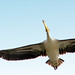 Pelican....fly high...sky is the limit