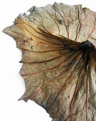 Gedroogd Lotusblad