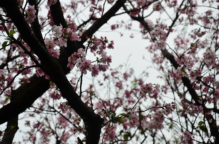 蔡博士櫻花園05.jpg