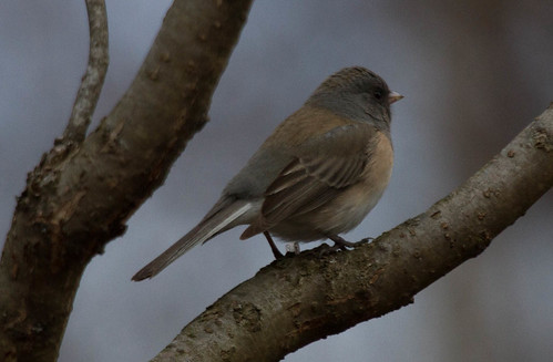 Probable Pink-sided
