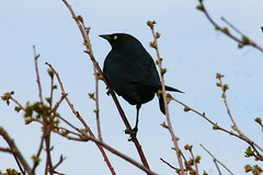 A Brewer's Blackbird Perched in a Woody Bush