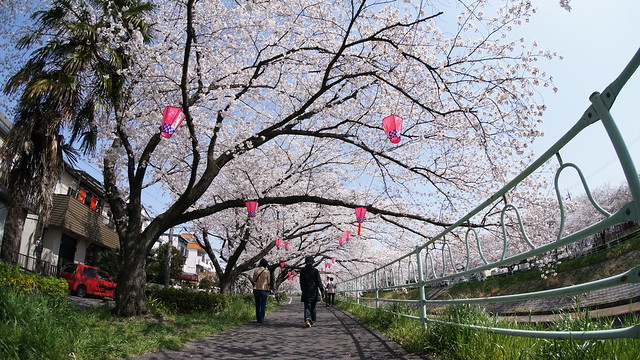 CherryBlossom_16