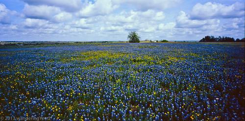 flowers 120 film mediumformat geotagged texas bluebonnet panoramic wildflower filmscan texaswildflowers lupinustexensis 21panoramic 6x12 austincounty horseman612 horseman6x12 horseman6x12panoramiccamera geo:lat=29971851 geo:lon=96525536