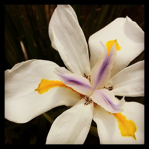 Fortnight Lily (Morea)