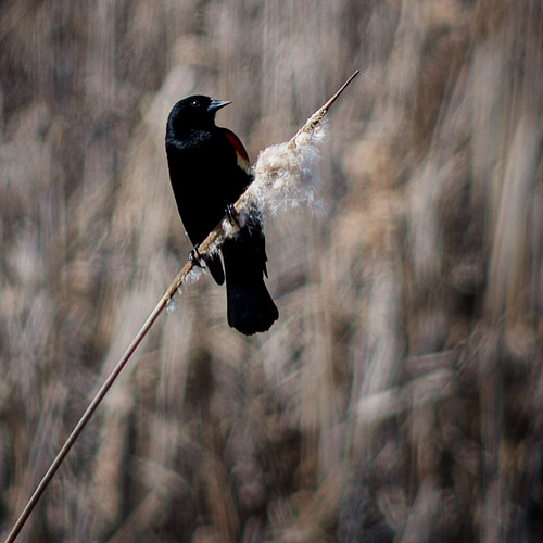 Spring Signs: Redwing Blackbird