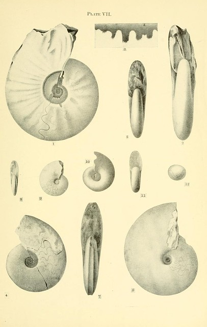 Acceleration of development in fossil Cephalopoda