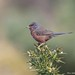 Dartford Warbler by The Bristol Boy1
