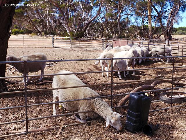 island pure dairy sheeps