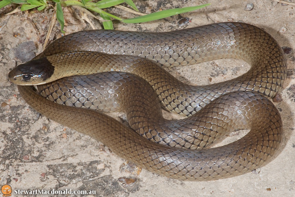 Grey snake (Hemiaspis damelii)