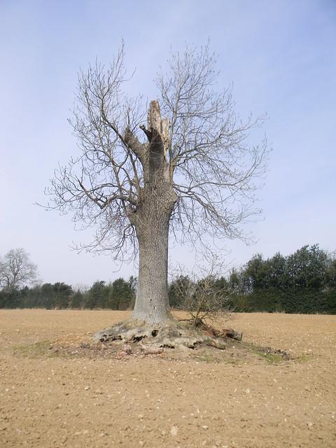 Battered tree