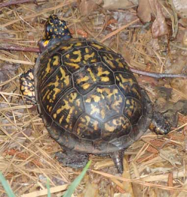 Eastern Box Turtle Terrapene carolina