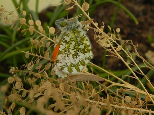 Emergence de l'Aurore mâle le 12 avril à 9h51