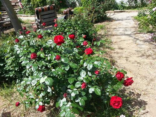 ingrid bergmann rose ingrid bergman rogue valley roses. Black Bedroom Furniture Sets. Home Design Ideas