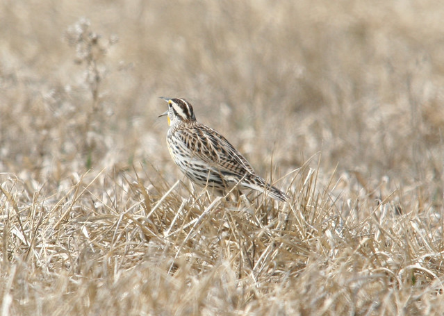 eastern meadowlark back 2