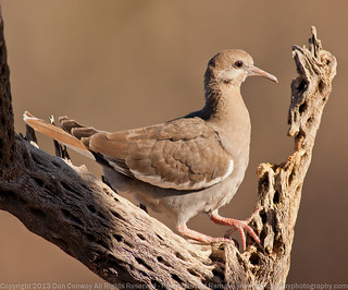 Immature White-winged Dove