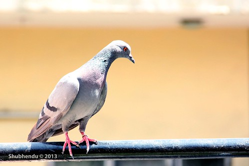 Indian Pigeon by ShubhenduPhotography