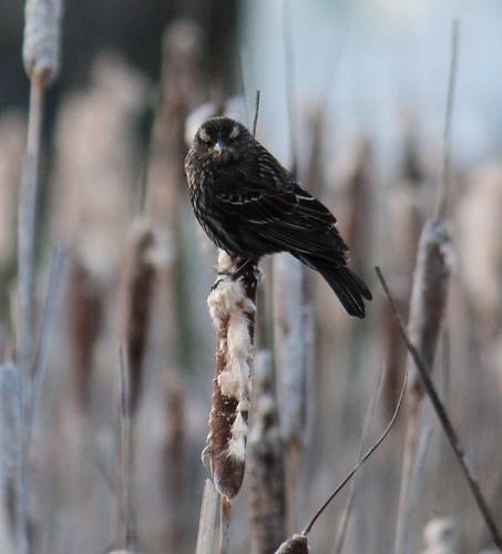 brownbird01A