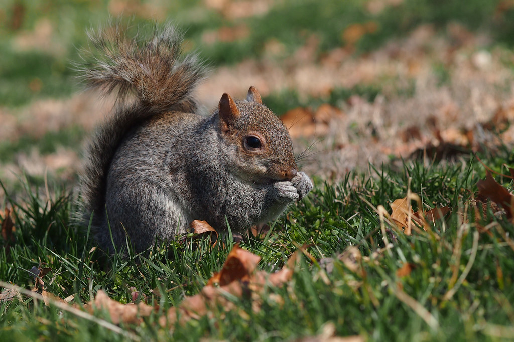 squirrel|Washington D.C.