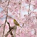 Weeping Cherry tree and Japanese white-eye