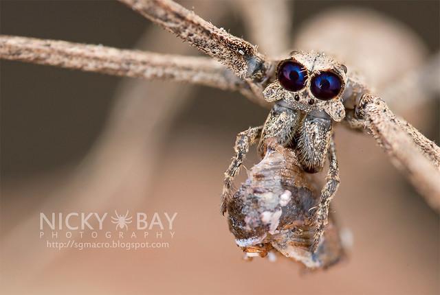 Araignée à face grise (Deinopis sp.) - DSC_0845