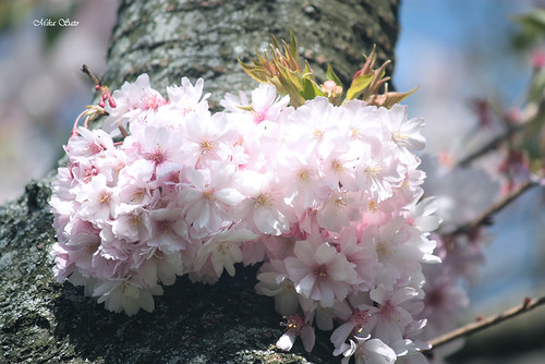 Flowering cherries